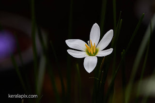 White Rain Lily in our home garden