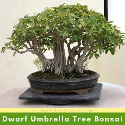 Dwarf Umbrella Bonsai