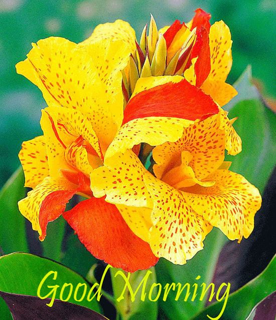 Good Morning Wishes with Canna Flowers