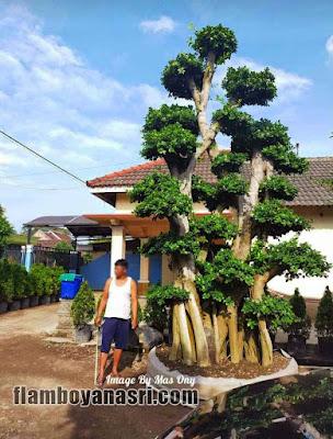 Tukang Taman surabaya Jual Bonsai Dolar Besar