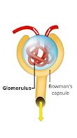 Glomerulonephritis