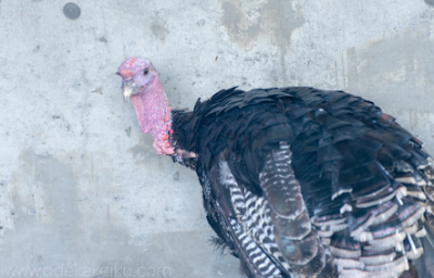 Efficient use of turkey varieties recipes