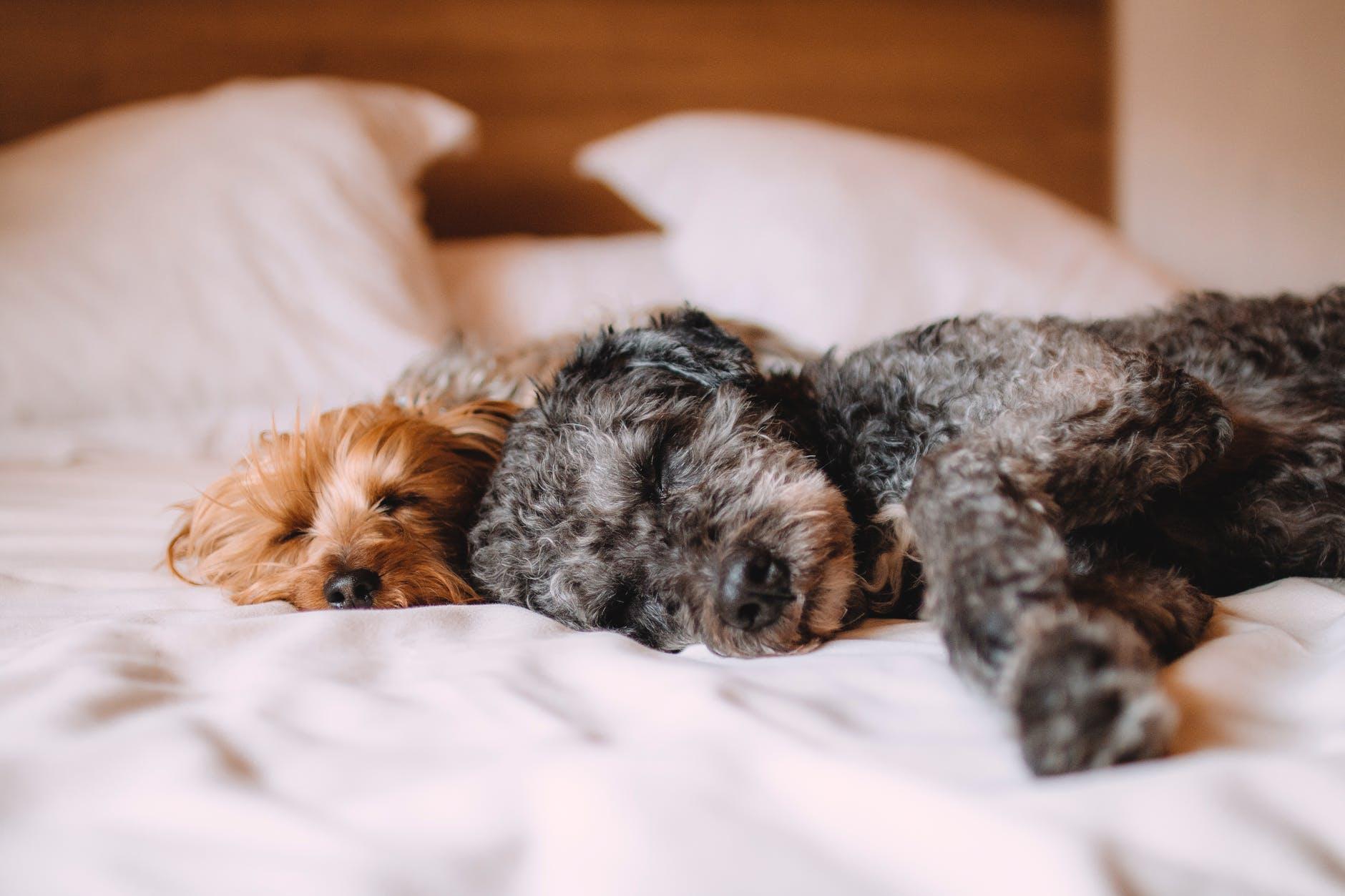 Apprenez à identifier les symptômes d'empoisonnement chez les chiens