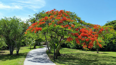 Poinciana tree on lawn beside pathway.