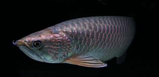 Ikan Arwana Jardini Papua