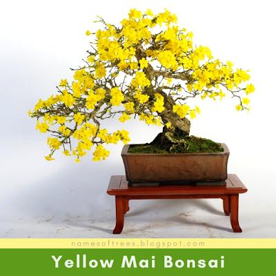 Yellow Mai Bonsai
