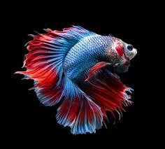 Alamat Jual Ikan Cupang Di Pekanbaru Penjual Ikan Cupang Terdekat