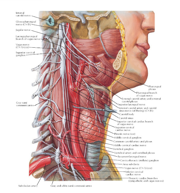 Autonomic Nerves in Neck Anatomy