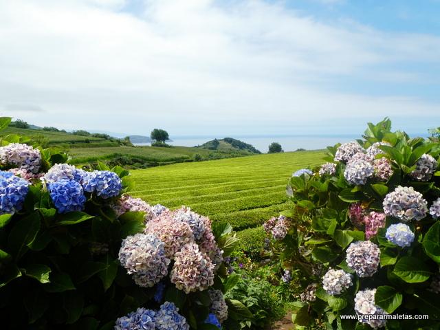 campos de té en las islas Azores