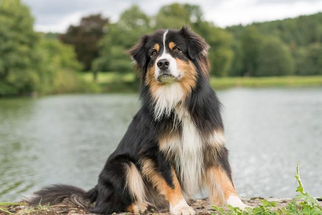 How to Take Care an Australian Shepherd - RictasBlog