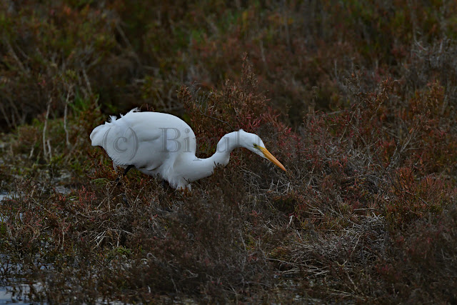 Great Egret catching Insects