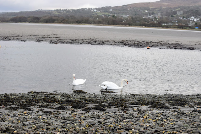 swan, swans, pair of swans, River Nevern, Newport Sands, Beach, Bay, Coast, Pembrokeshire, Pembrokeshire Coast, days out, free days out, visit Pembrokeshire, travel, family adventure, family day out, adventure, outdoors, get outdoors, family travel, beautiful beach,