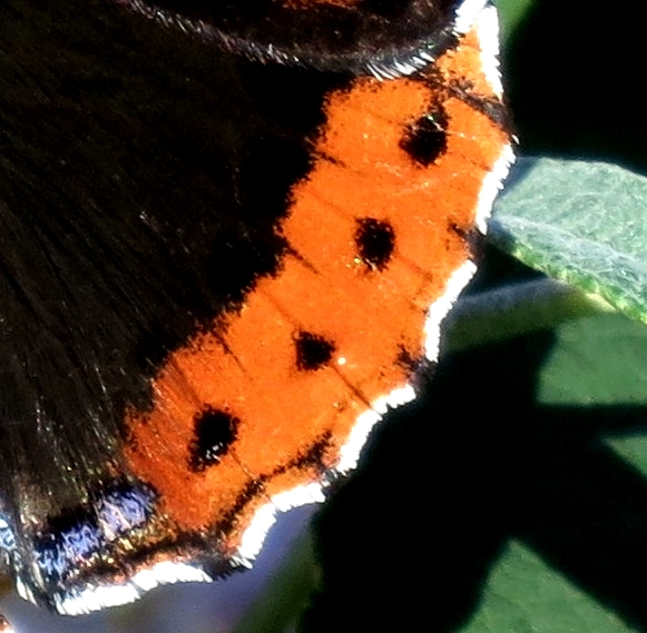The orange curve of a back wing showing black spots, white edge and flash of blue
