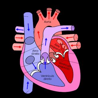 Como é o seu coração por dentro? Interior do coração...