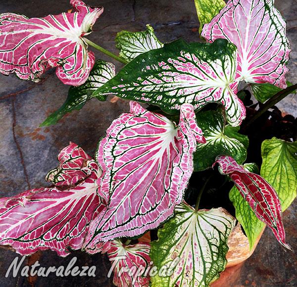 Planta del género Caladium