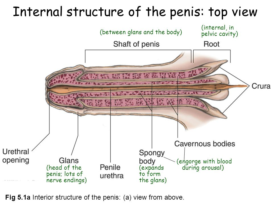 Male Reproductive System - Genital Organs and Functions - News Bucket