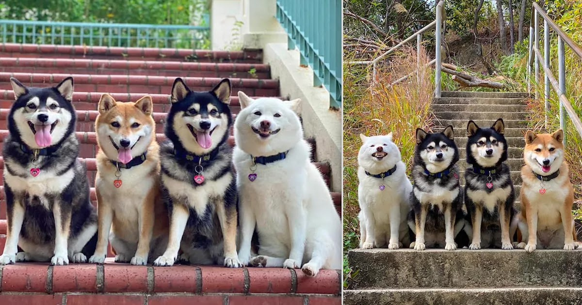 Meet Hina, The Dog Who Manages To Mess-Up Every Single Picture Taken By Her Loving Owners