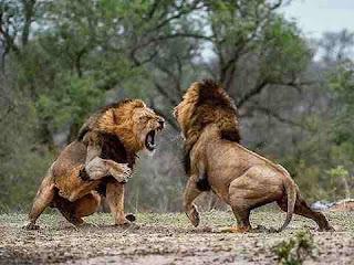 sapne mein sher dekhna सपने में शेर देखने