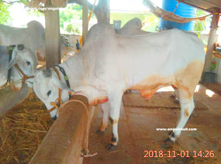 Ongole bull photos