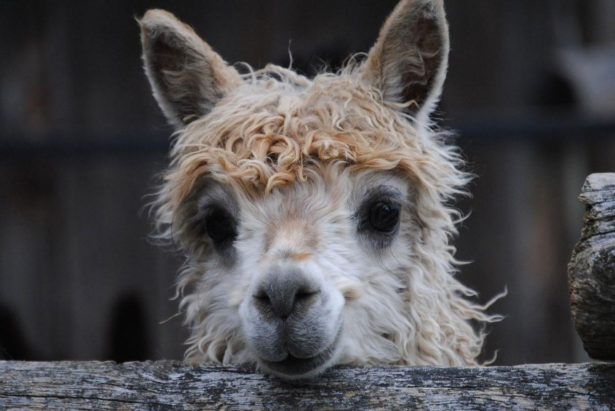 alpaca peruna