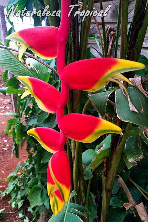 Inflorescencia de una especie de Heliconia