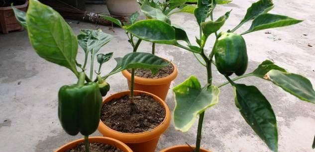 capsicum fruit in home garden