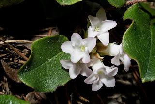 White Mayflower blooms