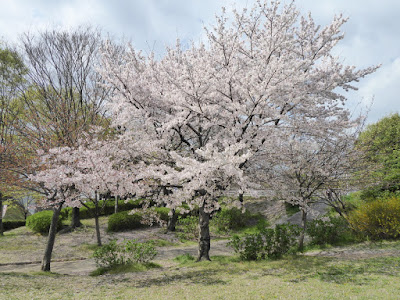 寝屋川公園の桜 ガゼボの丘