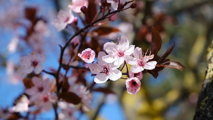 Papel de Parede Galho com Flores Rosa de Cerejeira