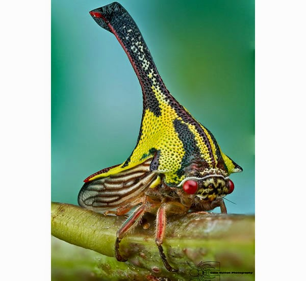 Animals You May Not Have Known Existed - Umbonia Spinosa