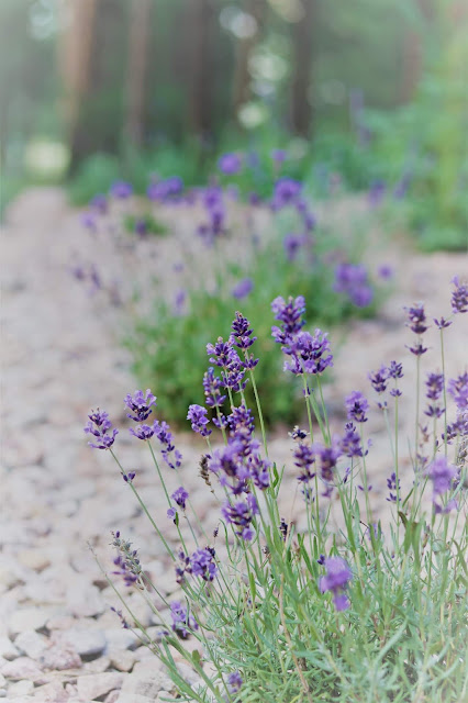 lavender, flowers, farmer, gardens, gardening, cottage, garden, athomewithjemma