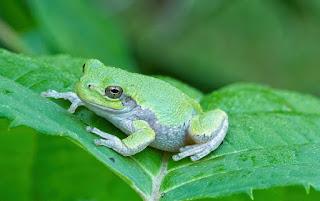 About Tree Frog. रंग बदलने वाला मेंढ़क।