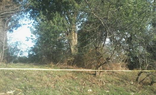 Bosque y árboles, pinos