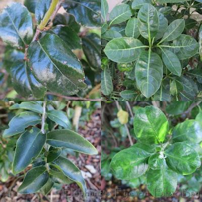 Diospyros, Psychotria Dovyalis, Coprosma