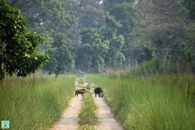 Jabalíes en Parque Nacional de Bardia, Nepal
