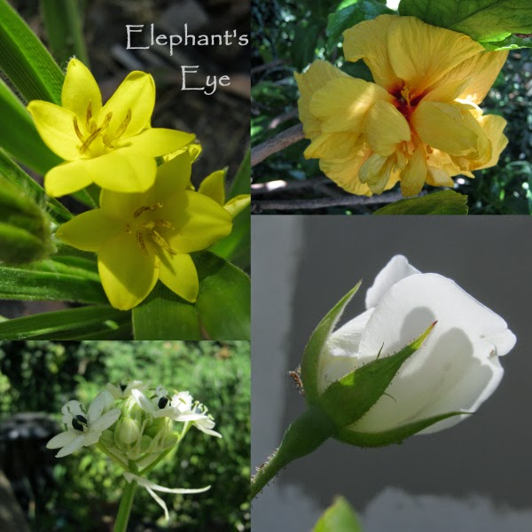 Hypoxis, Hibiscus chincherinchee, white rose