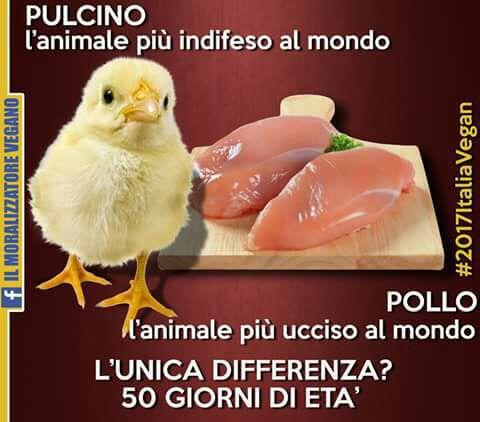 PULCINO L'ANIMALE PIU' INDIFESO AL MONDO........POLLO L'ANIMALE PIU' UCCISO AL MONDO...
