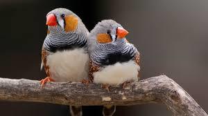zebra%2Bfinch.png