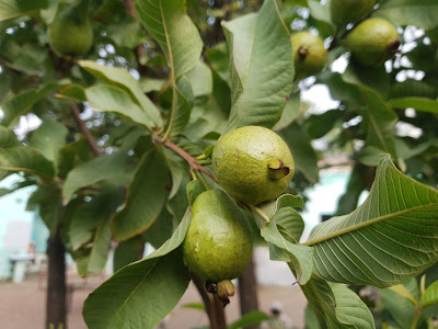 ماهي فائدة الجوافة للجسم - للقلب - للمناعة - للبشرة