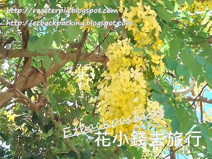 粉嶺康樂公園黃金雨