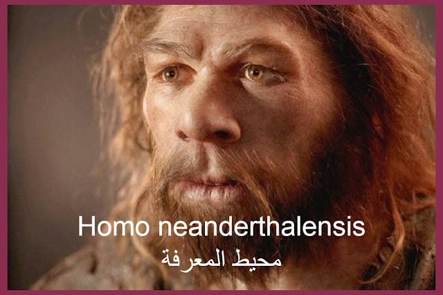 الإنسان النيونديرتالي Homo neanderthalensis