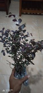 Bibit tanaman hias roropytalum - Pohon serut merah