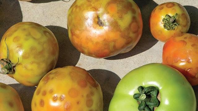 """Αργολίδα: Η """"Καστανή Ρυτίδωση"""" χτύπησε ντομάτα & Πιπεριά"""