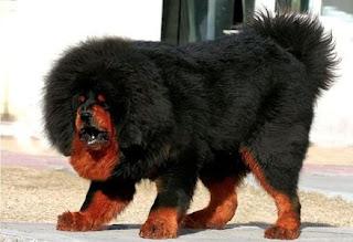 Indigenous Mastiff