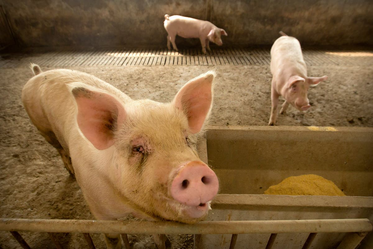 Scientists Say New Strain of Swine Flu Virus Is Spreading to Humans in China #Arewapublisize