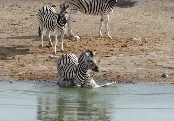 Zebra mashkull përpiqet të mbysë këlyshin, video shokuese: përse dëshiron ta eliminojë