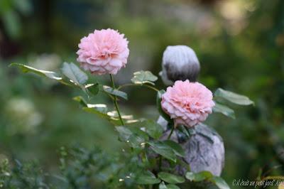 rose de cornouailles remontant