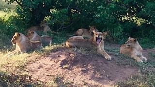 leijona, botswana, ratsastussafari, riitta reissaa, ratsastus, hevonen, matka