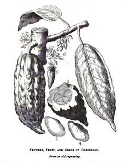 old engraving that depicts chocolate flower, fruit and seeds