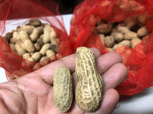 今年は2種類たねまきしました。左は昨年収穫した種で右は千葉県産の「おおまさり」という大きな品種